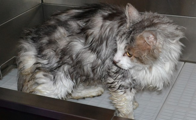 Monty is a 12 year old Medium hair Domestic.  He had his matted fur shaved off, nails clipped, ears cleaned and a wash n blow dry.  Pampered by Kylies Cat Grooming services Also All Size Dogs.