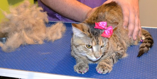 Kimba is a Short hair Tabby.  She had her fur raked, nails clipped, ears cleaned, a wash n blow dry, Front line 1 month Flea Applicator and full set of Purple Softpaw nail caps.  Pampered by Kylies Cat grooming services Also All Size Dogs.