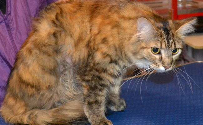 Gem is a Medium hair Tabby. She had her matted fur shaved, nails clipped, ears cleaned, a wash n blow dry, Front line 1 month Flea Applicator and full set of Pink Softpaw nail caps.  Pampered by Kylies Cat grooming services Also All Size Dogs.