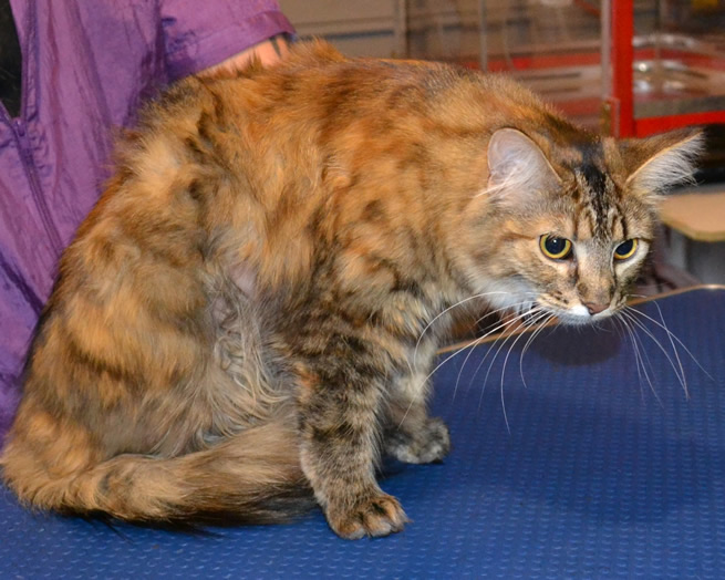is a Medium hair Tabby. She had her matted fur shaved, nails clipped ...