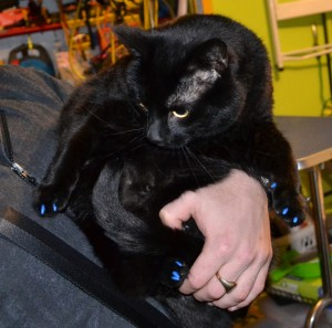 Oscar is a Short hair Domestic. He had him nails clipped and a full set of Blue Softpaw nails caps put on. Pampered by Kylies Cat Grooming Services Also All Size Dogs.