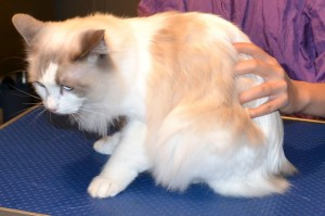 Muffin is a Ragdoll. She had her fur shaved down, nails clipped and ears cleaned and a wash n blow dry. Pampered by Kylies Cat grooming Services Also All Size Dogs.