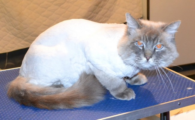 Oliver is a Ragdoll.  He had his matted fur shaved off, nails clipped and ears cleaned. Pampered by Kylies Cat Grooming Services Also All Size Dogs.