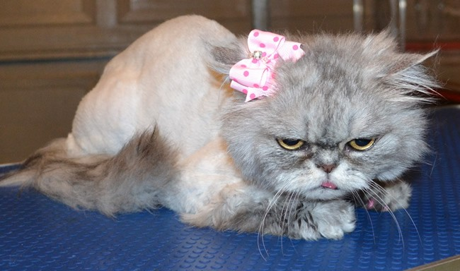 Kirra is a Persian.  She had her matted fur shaved off, nails clipped, wash n blow -dry, Frontline 1 month flea applicator and a full set of Soft Pink Softpaw nail caps.  Pampered by Kylies Cat Grooming Services Also All Size Dogs.