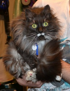 Poki is a Long Hair Domestic. She had her fur shaved, nails clipped, ears and eyes cleaned and a wash n blow dry. Pampered by Kylies Cat Grooming Services Also All Size Dogs.