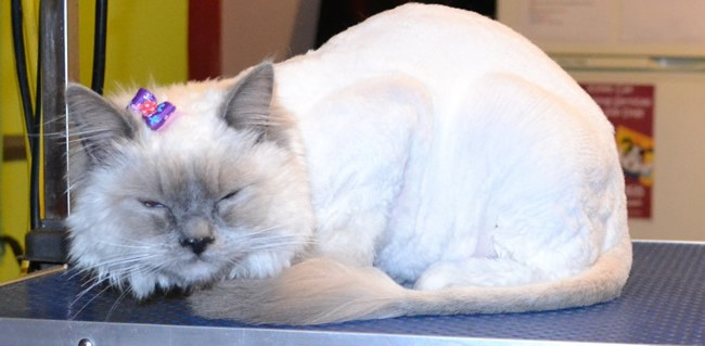 Penny is a Ragdoll. She had her matted fur shaved off, nails clipped, ears cleaned and a wash n blow dry. Pampered by Kylies cat grooming Services Also All Size Dogs.