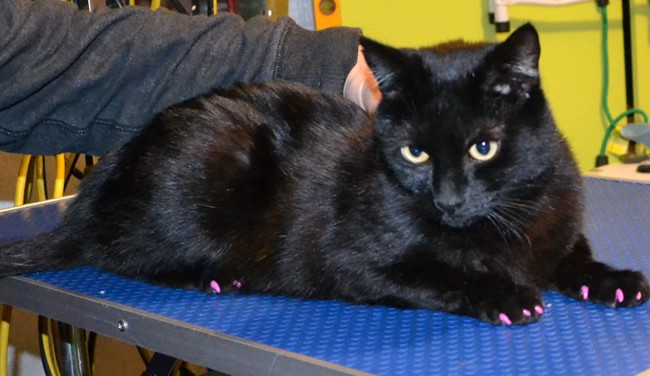 Vader is a Short hair Domestic.  He had him nails clipped and a full set of Purple Softpaw nails caps put on.  Pampered by Kylies Cat Grooming Services Also All Size Dogs.