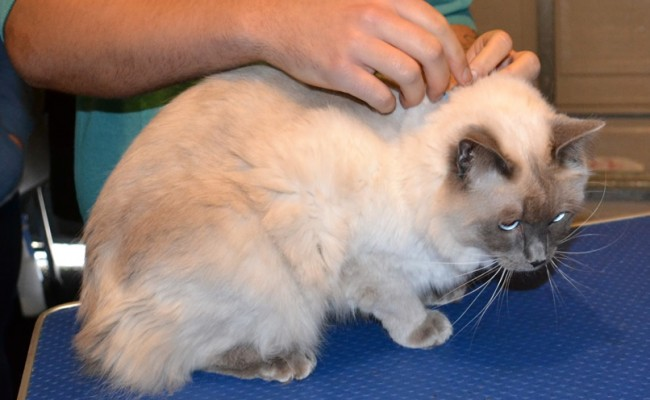 Archie is a Ragdoll. He had her fur shaved down and nails clipped.  Pampered by Kylies Cat Grooming Services Also All Size Dogs.