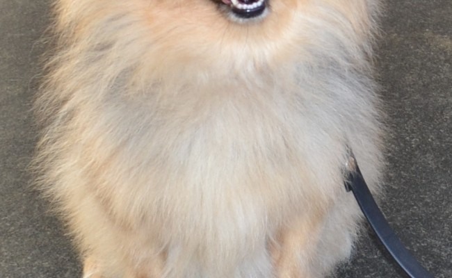 Oscar is a Pomeranian x.  He had a comb clip, nails clipped, ears cleaned and a wash n blow-dry.  Pampered by Kylies Cat Grooming Services Also All Size Dogs.