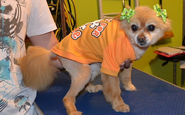 Summer is a Pomeranian x Shih Tzu.  She had her very thick fur shaved down, nails clipped, ears cleaned and a wash n blow -dry. She is also wearing one of our tops she got from me. Pampered by Kylies Cat Grooming Services Also All Size Dogs.