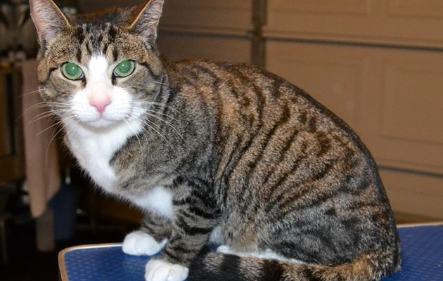 Caeser is a Short Hair Tabby.  He had his nails clipped, ears cleaned, a Flea wash n blow-dry and 1 month Frontline flea treatment.  Pampered by Kylies Cat Grooming services Also All Size Dogs.