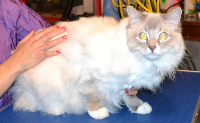 Rosie is a Ragdoll.  She had her matted fur shaved off, nails clipped, ears cleaned and Purple Softpaw nails caps.  Pampered by Kylies Cat Grooming Services Also All Size Dogs.