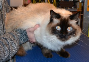 Sassy is a Ragdoll. She had her fur shaved down, nails clipped, ears cleaned and a wash n blow dry. Pampered by Kylies Cat grooming services Also All Size Dogs.