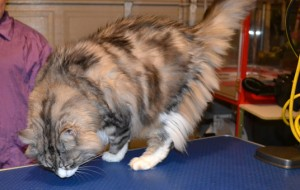 Thrasher is a Long hair Moggy. He had his fur shaved, nails clipped and his eyes and ears cleaned. Pampered by Kylies cat Grooming services Also All Size Dogs.
