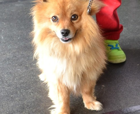 Charlie is a Pomeranian x.  He had his thick fur raked, then clipped down, nails clipped, ears cleaned and a wash n blow dry.  pampered by Kylies Cat Grooming services Also All Size Dogs.