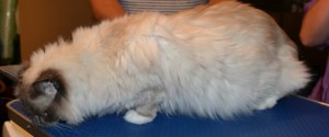 Jasmin is a Ragdoll. She had her matted fur shaved down, nails clipped and ears cleaned. Pampered by Kylies Cat Grooming services Also All Size Dogs