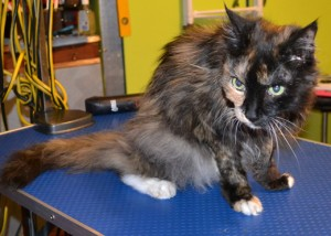 Jonesy is a 18 year old long hair moggy. She had her matted fur shaved down, nails clipped,ears cleaned and a wash n Blow dry . Pampered by Kylies cat Grooming services Also All Size Dogs.