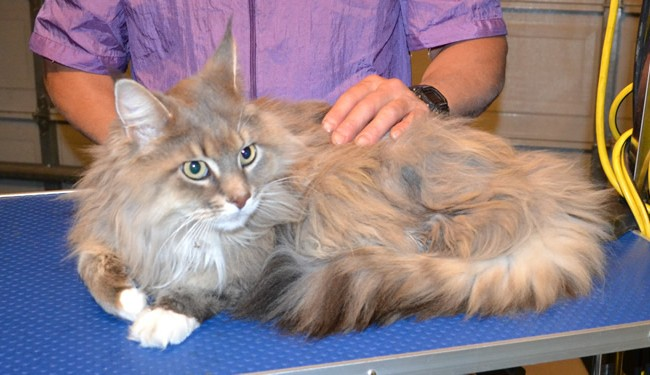 Sashca is a Mainecoon. She had her matted fur shaved off, nails clipped and ears cleaned.  Pampered by Kylies cat Grooming services Also All Size Dogs.