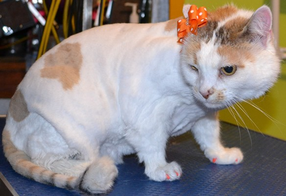 Crystal is a 12 yr old Short Hair Domestic.  She had her fur shaved down, nails clipped, ears cleaned , a wash n blow dry and Orange Softpaw nails caps.  Pampered by Kylies Cat Grooming services Also All Size Dogs.