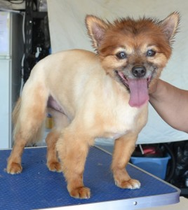 Prince is a Pomeranian x Maltese. He had his fur shaved, nails clipped, eats cleaned and a wash n blow dry. Pampered by Kylies Cat Grooming Services Also All Size Dogs.