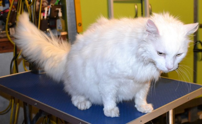 Jett is a Long hair Domestic. He had his fur shaved down, nails clipped, ears cleaned and a wash n Blow dry .  Pampered by Kylies cat Grooming services Also All Size Dogs.