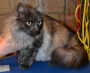 Oscar is a Long Hair Moggy. He had his matted fur shaved off underneath, a brush out on top, a comb clip along his top chest, ears cleaned and his nails clipped. Pampered by Kylies Cat Grooming Services Also All Size Dogs