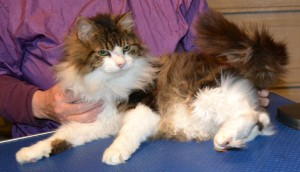 Sqiggle is a 16 yr old Long hair moggy. He had his matted fur shaved down and the rest comb clipped, nails clipped, ears cleaned and a full set of Black Softpaw nail caps. Pampered by Kylies Cat Grooming services Also All Size Dogs.