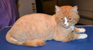 Flash is a Short hair Ginger. He had his matted fur shaved down, nails clipped and ears cleaned. Pampered by Kylies Cat Grooming services Also All Size Dogs.
