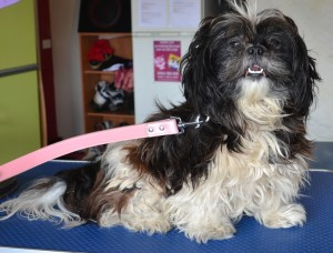 Princess is a Maltese x Shih Tzu. She is a rescue dog and is now with a very loving family who brought her into me today. She had her very bad matted fur shaved off, nails clipped, ears cleaned and a wash n blow dry. Pampered by Kylies Cat Grooming Services Also All Size Dogs