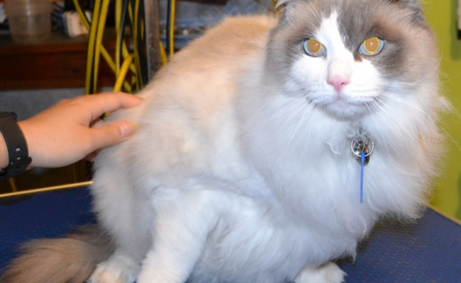 Cat is a ragdoll.  He had his fur shaved, nails clipped, ears cleaned and a wash n blow dry.  Pampered by Kylies Cat Grooming Services Also All Size Dogs.