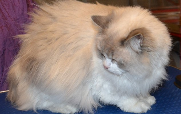 Lily is a Ragdoll. She had her matted fur shaved off, nails clipped, ears cleaned and a wash n Blow dry.  Pampered by Kylies Cat Grooming Services Also All Size Dogs.