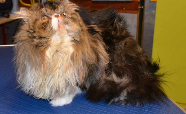 Franklin is a Persian.  He had his matted fur shaved off, nails clipped, ears cleaned, a wash n blow dry and a Full set of Blue Softpaw Nail Caps..  Pampered by Kylies Cat Grooming Services Also All Size Dogs
