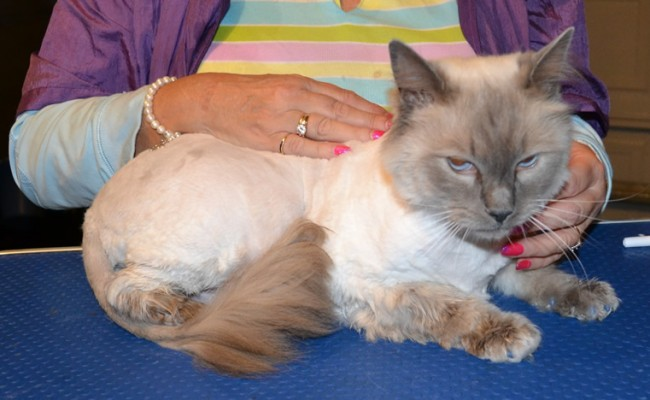 Nigel is a Ragdoll. He had his fur shaved, nails clipped, ears and eyes cleaned, wash n blow dry and a full set of Glitter Blue Softpaw nail caps.  Pampered by Kylies Cat Grooming services Also All Size Dogs