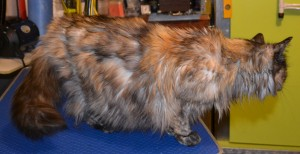 Timtam is a 14 year old long hair moggy. She had her matted fur shaved down, nails clipped and ears cleaned. Pampered by Kylies cat Grooming services Also All Size Dogs.
