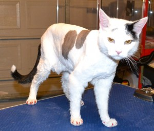 Oscar is a Short hair Domestic. He had his fur shaved down, nails clipped, ears cleaned, wash n blow dry and a full set of Red Softpaw nail caps. Pampered by Kylies Cat Grooming services Also All Size Dogs.