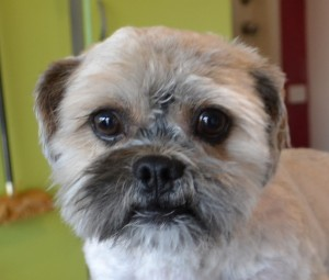 Leo is a Maltese x Shih Tzu. He had his matted fur shaved off, ears and eyes cleaned, nails clipped and a wash n blow dry. Pampered by Kylies Cat Grooming services Also All Size Dogs.