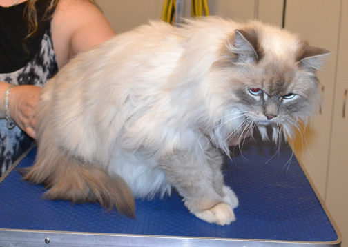 Nikki is a Ragdoll.  She had her fur shaved down, nails clipped, a wash n blow dry and her ears cleaned.  Pampered by Kylies cat Grooming services Also All Size Dogs.