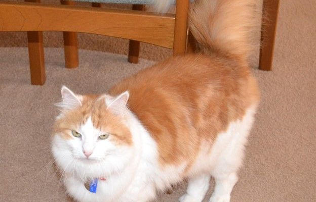 Avril is a Medium Hair Ginger.  She had her fur shaved down, nails clipped and ears cleaned.  She was a house call to a lovely elderly couple in a local retirement village.  Very well behaved cat too.  Pampered by Kylies Cat Grooming services Also All Size Dogs.