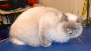 Marshall is a Ragdoll. He had his fur shaved, nails clipped, eyes and eyes cleaned, a wash n blow dry and Blue Softpaw nails caps put on. Pampered by Kylies cat Grooming services Also All Size Dogs.