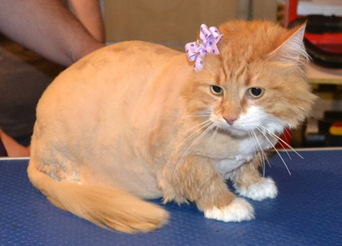 Millie is a long hair Domestic. She had her fur shaved down, nails clipped, ears cleaned and a wash n blow dry. Pampered by Kylies Cat Grooming Services Also All Size Dogs.