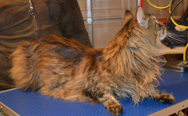 Sheba is a Mainecoon. She had her fur shaved, nails clipped and ears cleaned.  Pampered by Kylies cat Grooming services Also All Size Dogs.