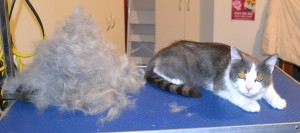 Sheru is a Chinchilla X). He had his fur raked, nails clipped, ears cleaned and a wash n blow dry.
