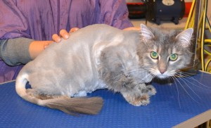 Wolf is a Long Hair Domestic. He had his fur shaved off, nails clipped, ears cleaned and a wash n blow dry. Pampered by Kylies Cat Grooming Services Also All Size Dogs.