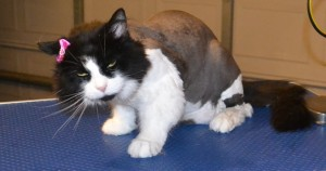 Jessie is a long hair Domestic. She had her matted fur shaved off, nails clipped and her ears cleaned. Pampered by Kylies cat Grooming services Also All Size Dogs.