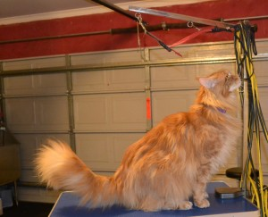 Before - Harrison is a 13kg Mainecoon. He had all his underneath shaved down, nails clipped, ears cleaned, his fur raked and a wash n blow dry. Pampered by Kylies Cat Grooming Services Also All Size Dogs.