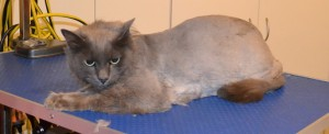Lakito is a Russian Blue x Domestic. He had his matted fur shaved down, nails clipped and ears cleaned. Pampered by Kylies Cat Grooming services Also All Size Dogs.