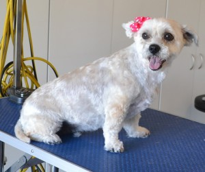 Sookie is a Maltese. He had his fur clipped very short, nails clipped, ears and eyes cleaned and a wash n blow dry. Pampered by Kylies Cat Grooming Services Also All Size Dogs.
