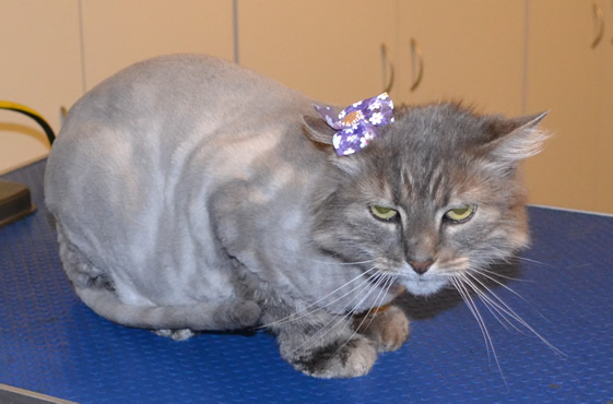 Button is a Long hair Domestic. She had her fur shaved down, nails clipped, ears cleaned and a wash n blow dry.    Pampered by Kylies Cat Grooming services Also All Size Dogs.