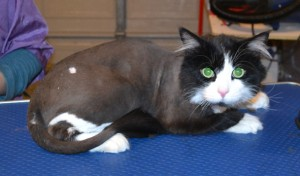 Bell (male cat) is a Medium Hair Domestic. He had his fur shaved, nails clipped and ears cleaned. Pampered by Kylies Cat Grooming Services Also All Size Dogs.