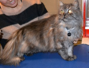 Hinchley is a Persian x. He had his fur shaved down, nails clipped, ears and eyes cleaned and a wash n blow dry. Pampered by Kylies cat Grooming services Also All Size Dogs.